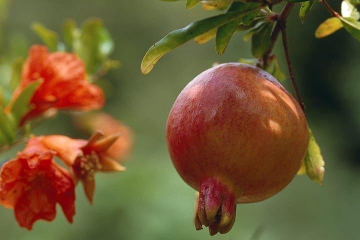 Granatapfle Blüte und Frucht